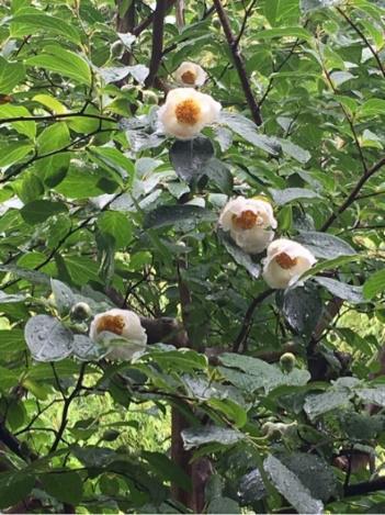 沙羅の花 (夏椿)